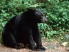 Black Bear in den Smoky Mountains, Tennessee<br>© Tennessee Tourism